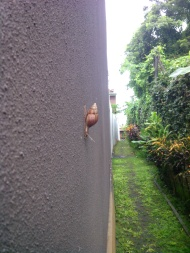 A large snail trying to escape to the garden before the sun rises