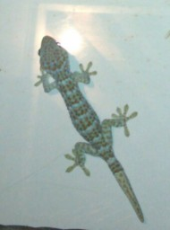 A tokay gecko at night hunting near the lights