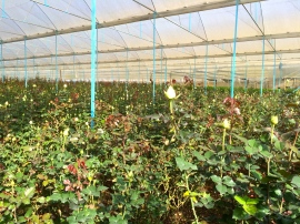 A rose farm