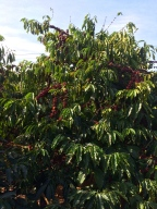 A coffee tree