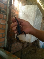 A scorpion before being bottled in alcohol