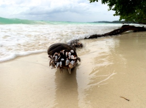 Goose-neck barnacles washed up on driftwood