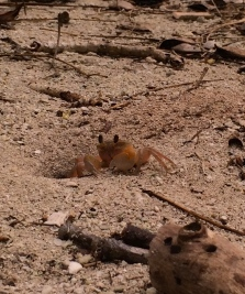 A fiddler crab protecting his burrow