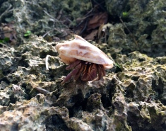 A large hermit sporting a cone shell
