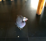 Guinea fowl begged at the breakfast table