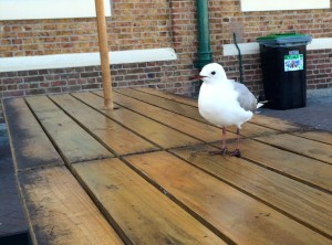 This fearless gull kept trying to steal something from our plate