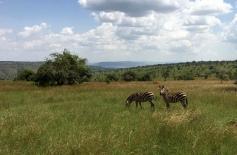 A zebra pair