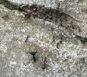 Army ants with a soldier