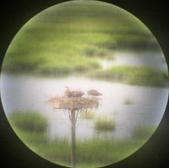 The osprey family from the telescope