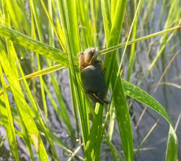 Crab in the reeds at high tide
