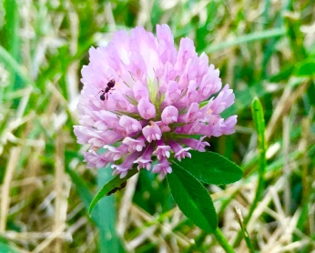 Small ant on clover